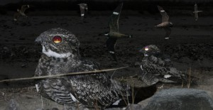 Nighthawks flying and standing on a rocky area
