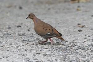 Zenaida Dove Walking