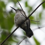A female Bee Hummingbird staring off into the distance