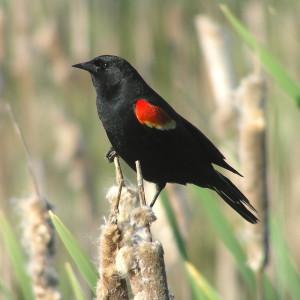 red shoudlered blackbird