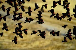 red-wing-blackbirds in flock in flight