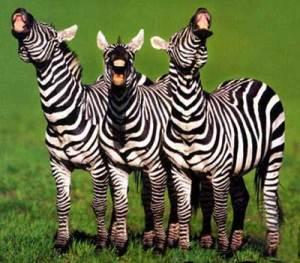 Funny-Zebra-2