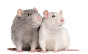 Pet_Rats