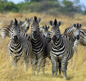 Zebra_Botswana_edit02