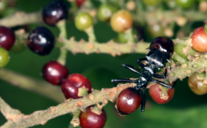 ant with red berry gaster