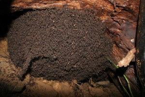 army ant bivouac