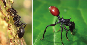 healthy ant vs nematode red an