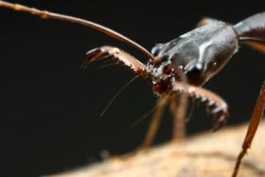 ant-trapjaw