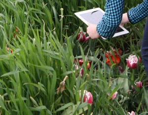 A young woman holds an iPad over a red and white tulip to learn more about flower anatomy.