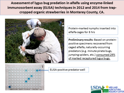 Lygus fig 2