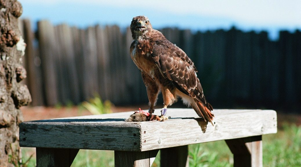 A red tailed hawk with its kill