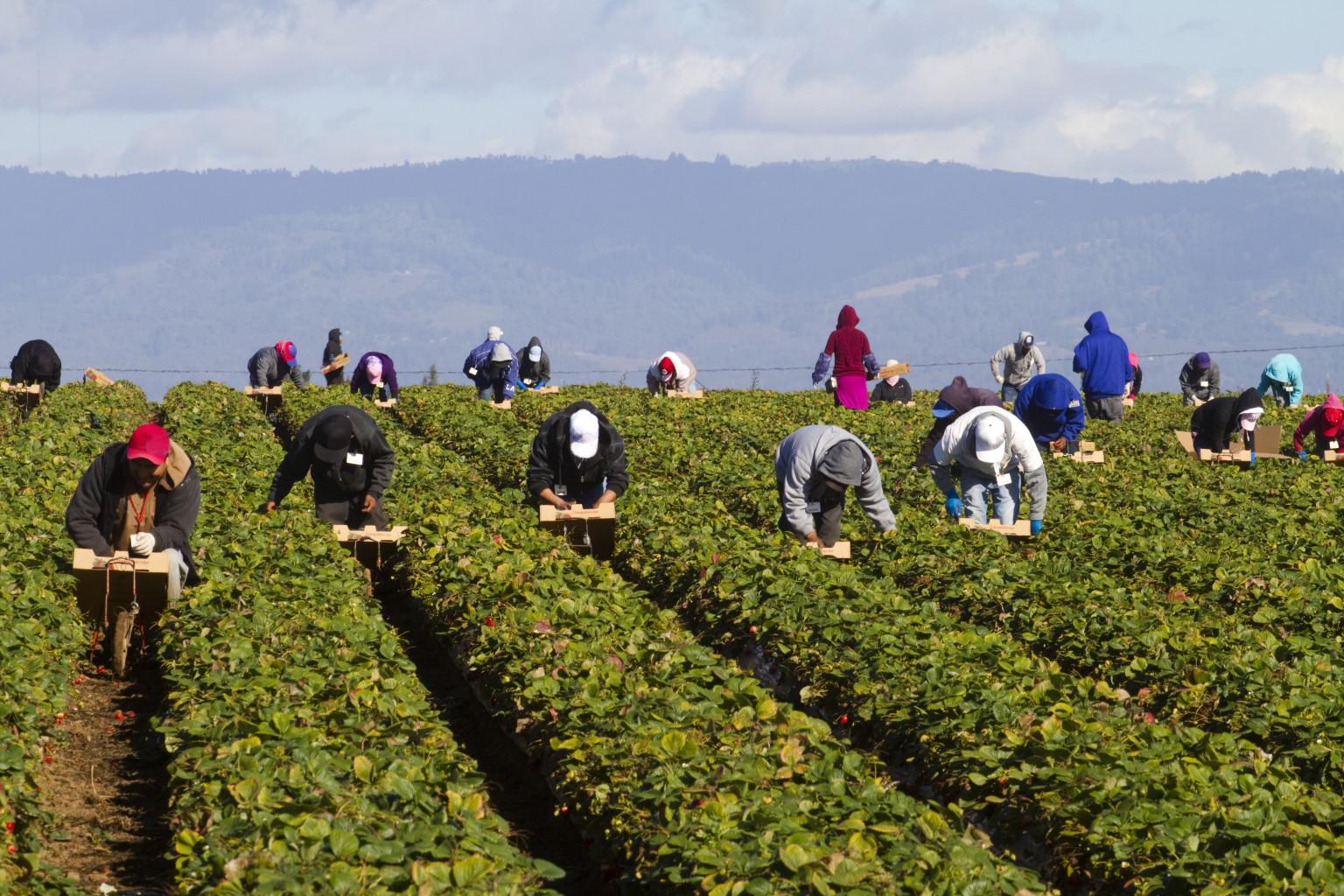 Migrant Farm Workers in Strawberry fields.