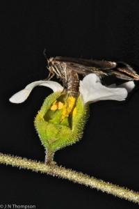 Greya politella pollinating Lithophragma bolanderi