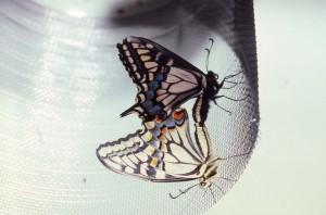 Papilio zelicaon mating with Papilio oregonius