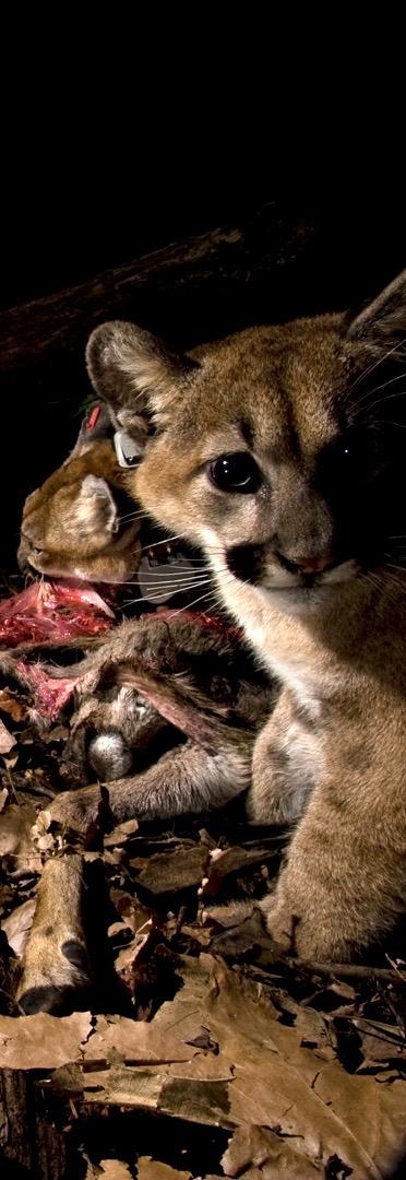 Puma kitten and mom feeding at kill. Photo (c) Sebastian Kennerknecht Photography