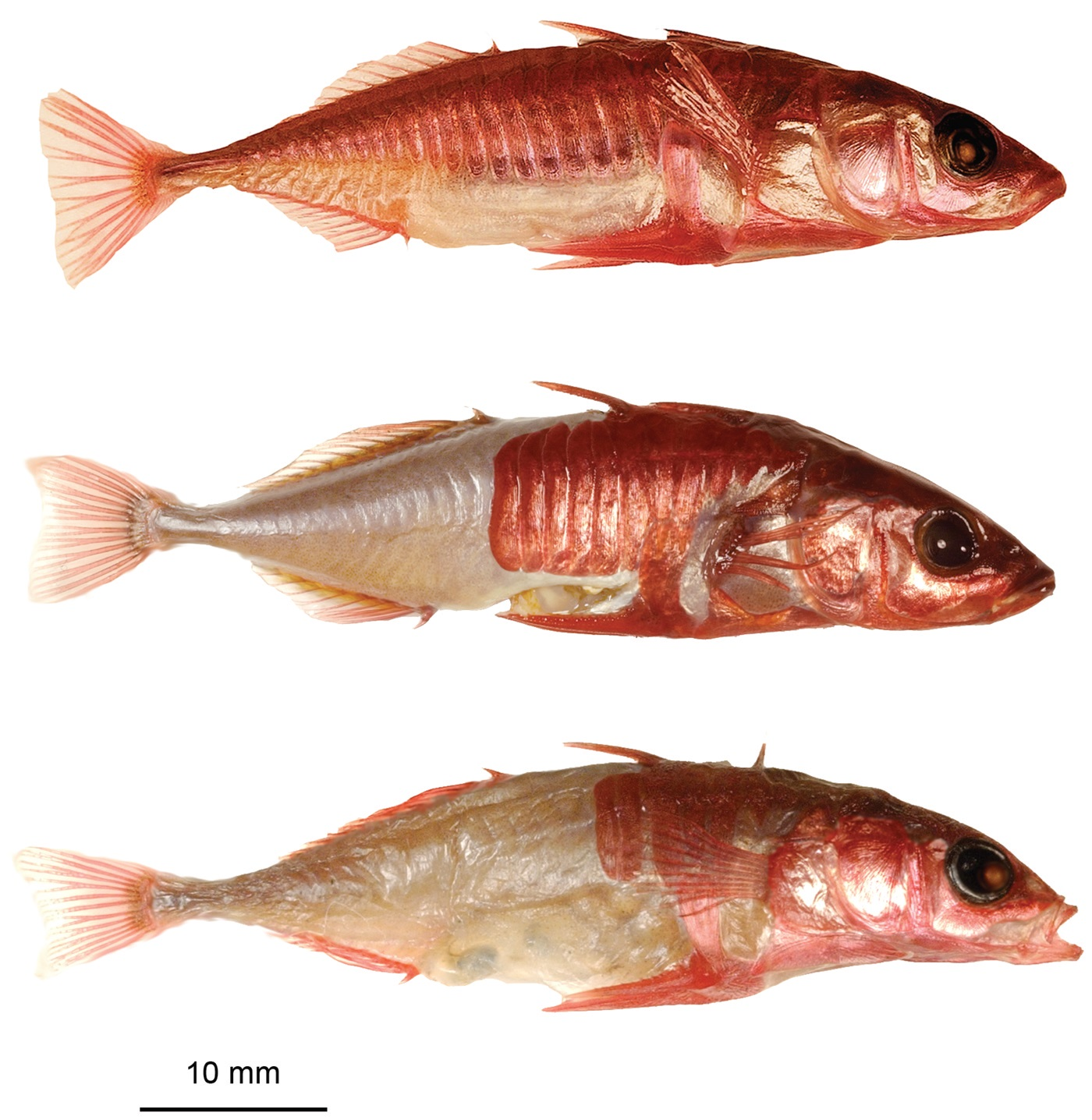 From top to bottom: Completely, partial, and low plated threespine stickleback. From Barret et al. 2008