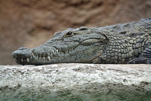The genomes of three crocodilians provide insight into archosaur evolution