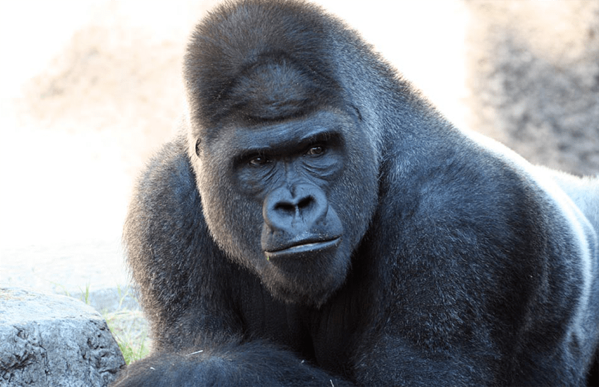 Long-read sequence assembly of the gorilla genome