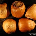 CORYCO seeds