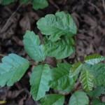 TOXIDI leaves