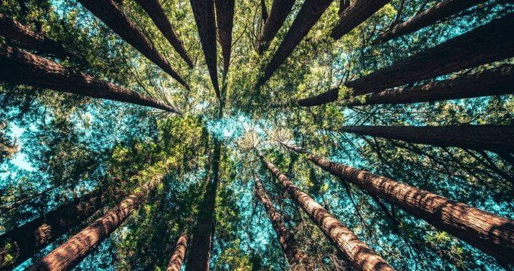 Photo of redwood trees