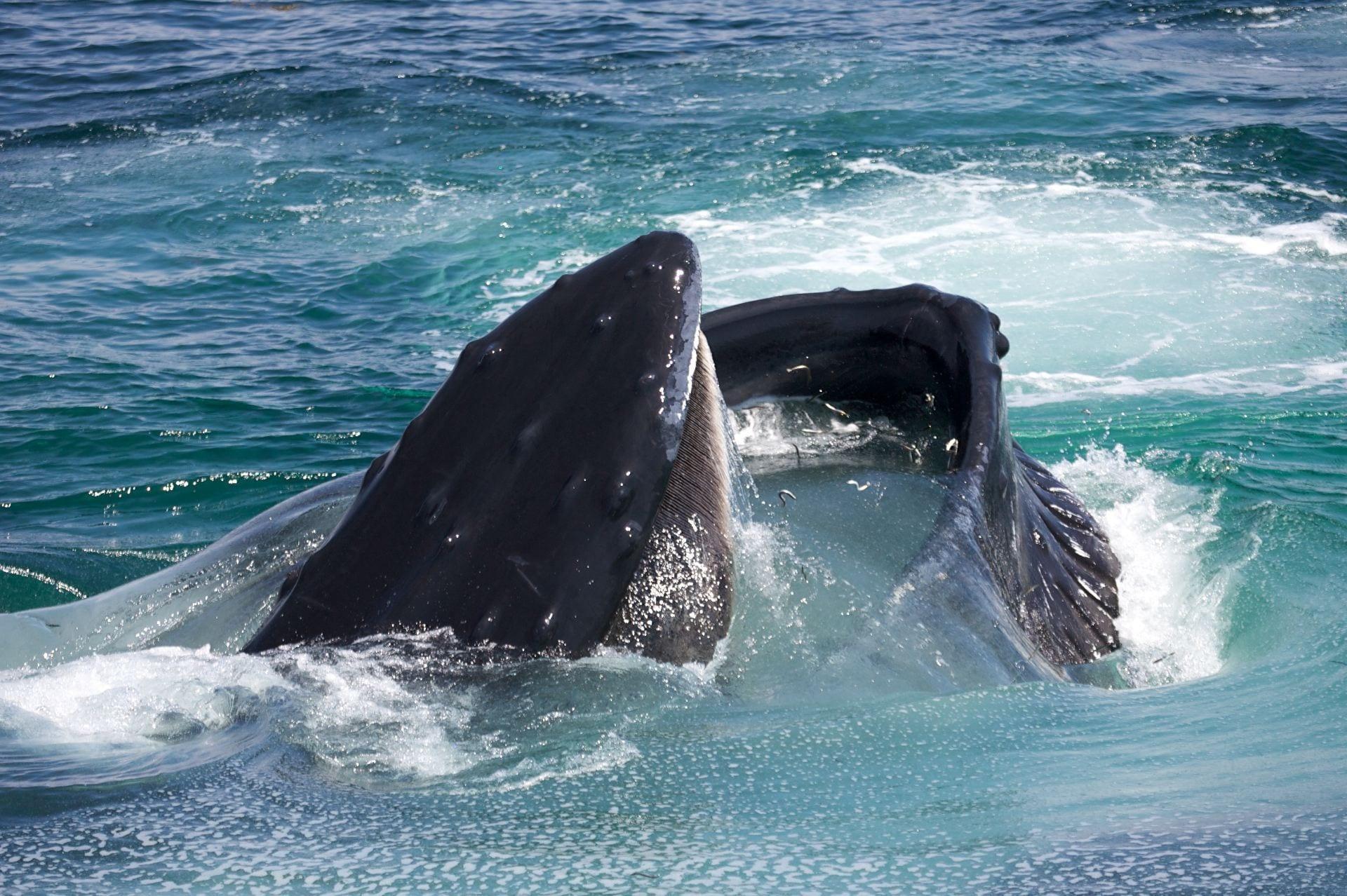 humpback with sandlance