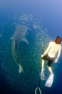 Dr. McMahon tagging a juvenile whale shark off the coast of Saudi Arabia, Red Sea as part of the Red Sea Research Center whale shark tagging program (Photo Michael Berumen)
