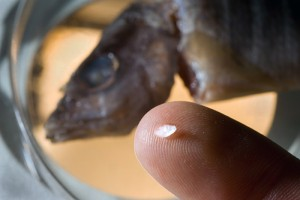 A snapper otolith holds a wealth of information about where that fish spent its juvenile nursery period. (Photo Tom Kleindinst, WHOI)