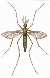 Historic drawing of a mosquito