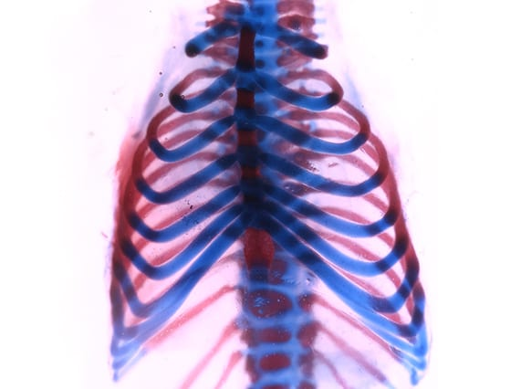 Mouse rib cage stained to show cartilage (blue) and bone (red) (Image by Francesca Mariani)