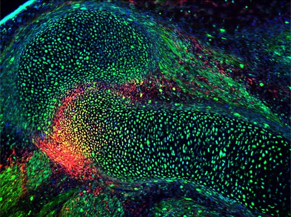 (Image by Lick Lai/ McMahon Lab)