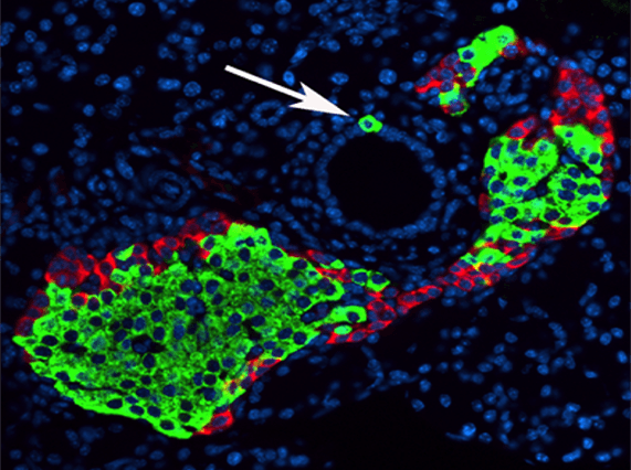 Insulin (green) and glucagon (red) expressing cells in a 7 day old mouse pancreas (Image courtesy of the Georgia Lab)