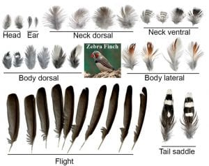 Feather shape diversity is evident as seen in representative feathers from different tracts of a single zebra finch.