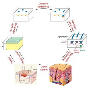 Our lab studies the periodic patterning of the skin and its repair / regeneration after wounding