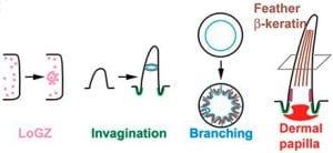 Morpho-regulatory modules regulate feather shapes