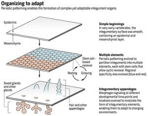 Periodic patterning enables the formation of complex yet adaptable integument organs