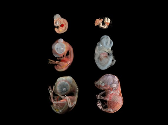Renderings of 3D microMRI scans of mouse and quail embryos (Renderings by Seth Ruffins, data collection by Russell Jacobs)