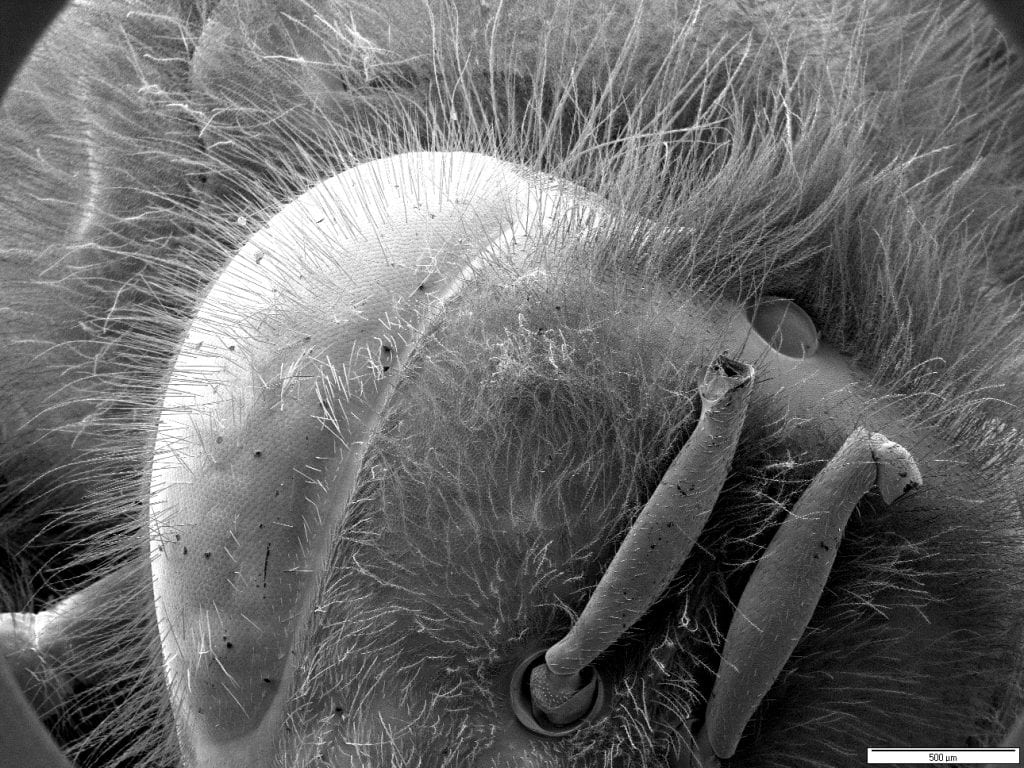 Head of house fly showing hair, two broken antennae and eye detail on the left (Image by Paul Webster)