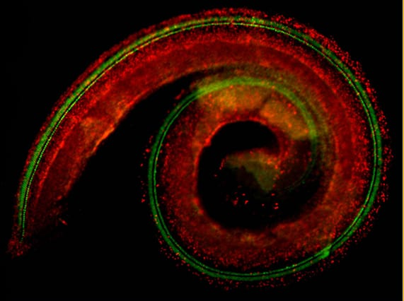 A whole cochlea dissected from a postnatal day 1 mouse and stained with antibody to BrdU (red, cell division) and MyosinVIIA (green, hair cells). (Image courtesy of the Segil Lab)