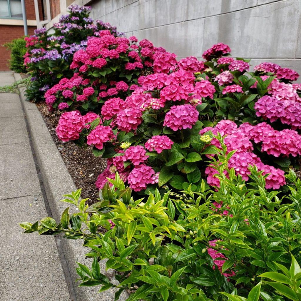 Blooming hydrangeas between sidewalk and cement wall