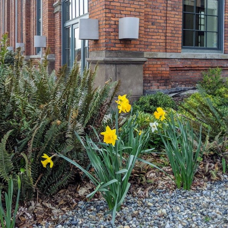 Daffodils outside the Snoqualmie Building