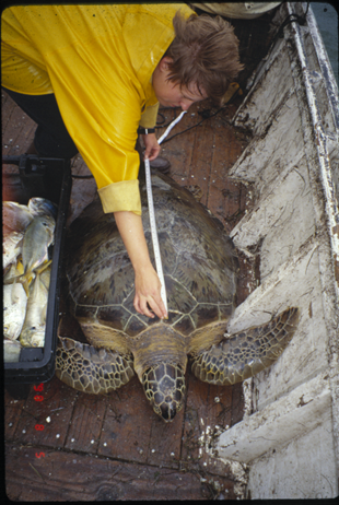Heppell measures a sea turtle in the field.