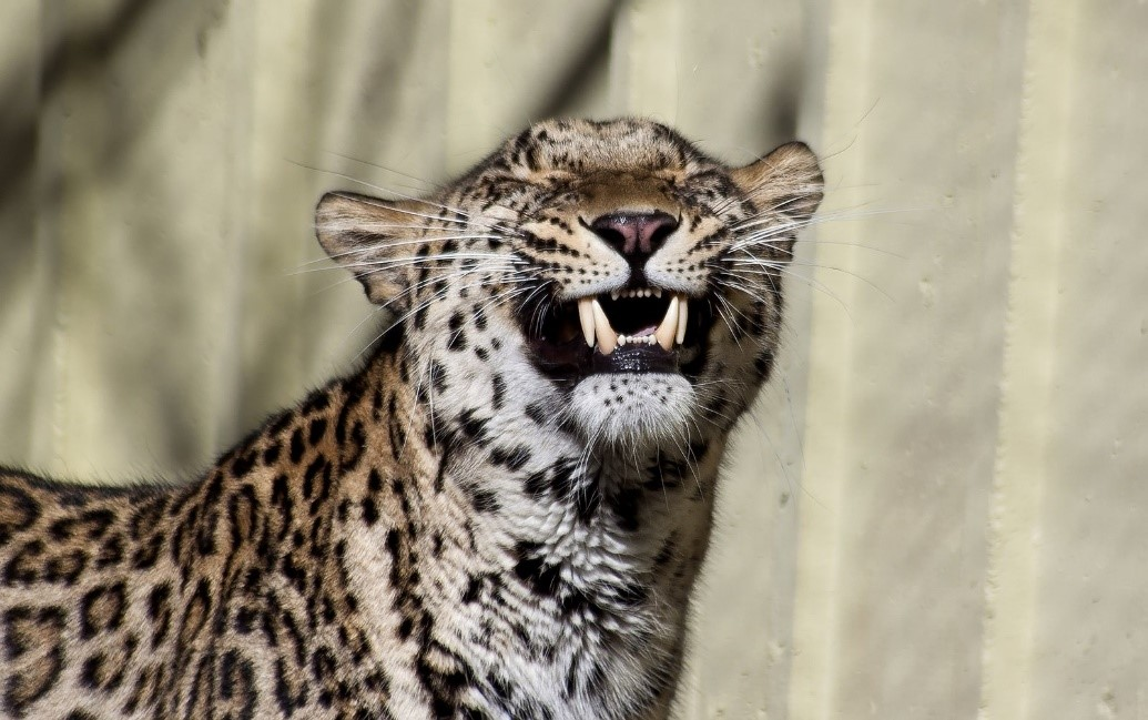Image of a smiling leopard.