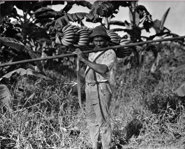 Photo of a worker with a five-foot bunch of bananas over his right shoulder and a long pole over his left shoulder. Columbia, 1924