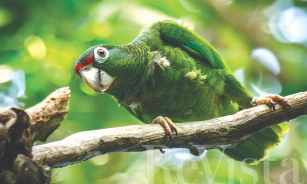 The Parrots of the Caribbean