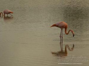 Two flamingo in a lagoon in Puerto Villamil.