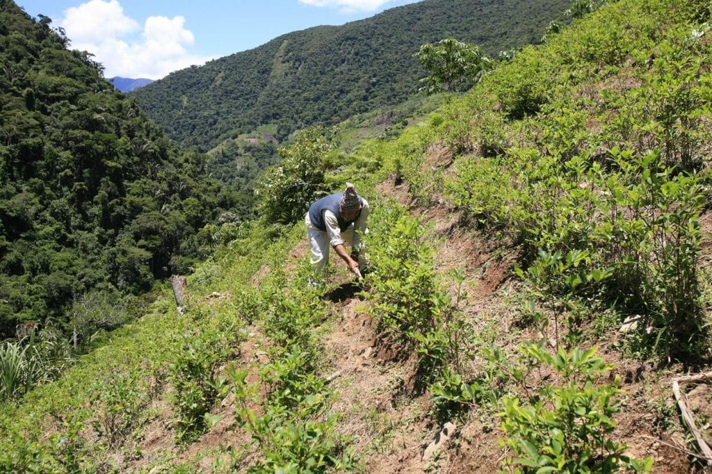 Photo of person working among coca plantings on a hillside.