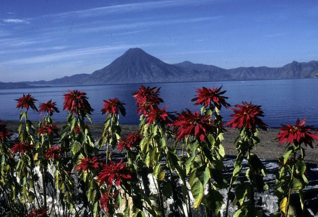 A view of Lake Atitlán, with red flowers in the foreground and a volcano in the background.