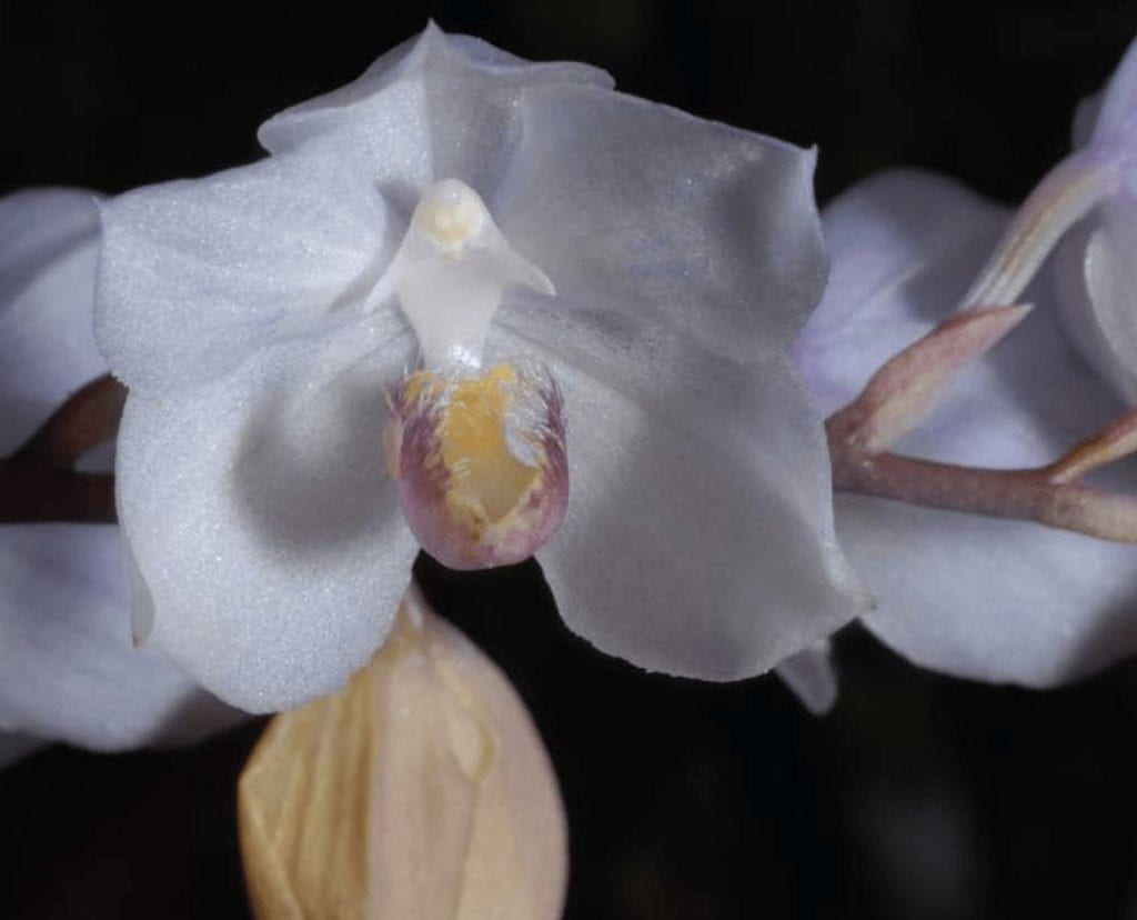 Photo of a white orchid flower in full bloom.