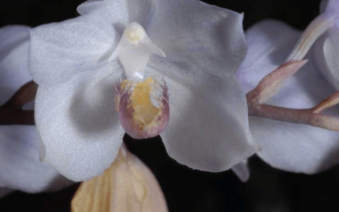 Collecting Orchids In the Venezuelan Orinco-Amazon Interfluvium